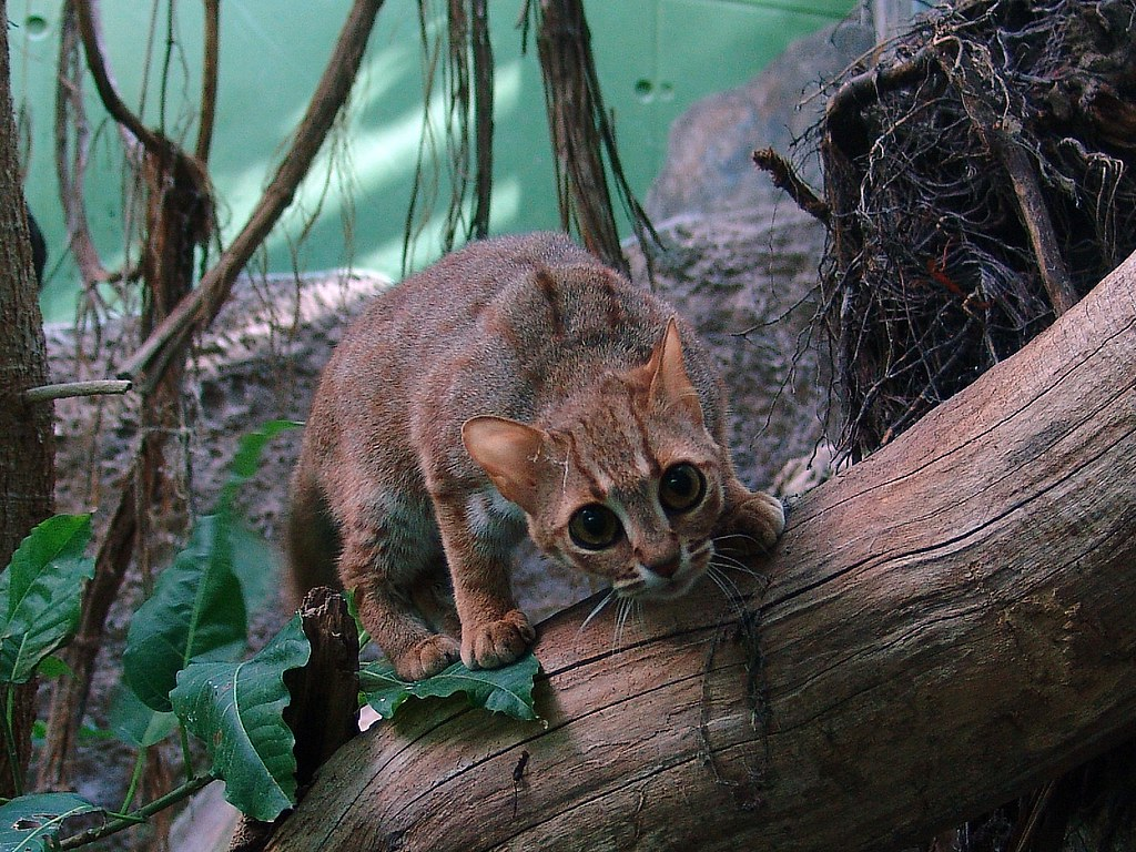 Image Result For Rusty Spotted Cat