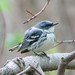 Cerulean Warbler in Silver Maple swamp