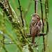 Moineau domestique Passer domesticus - House Sparrow   MEL_9175 by cedric provost