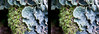Foliose lichen Stereogram by -- Green Light Images --