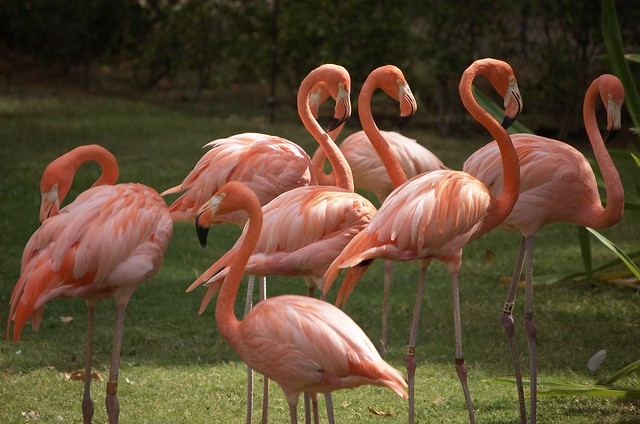 Group Of Flamingos 29