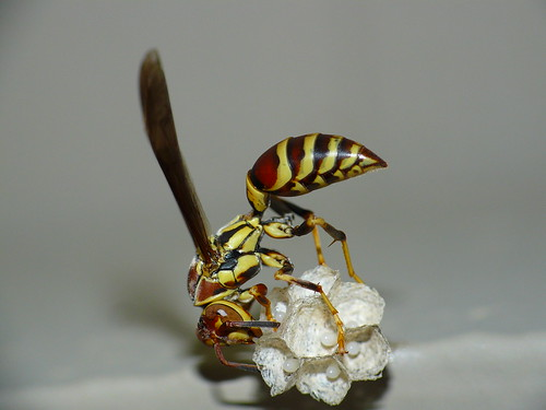 Paper Wasp (Polistes exclamans)