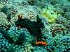 Nembrotha kubaryana Nudibranch on Coral