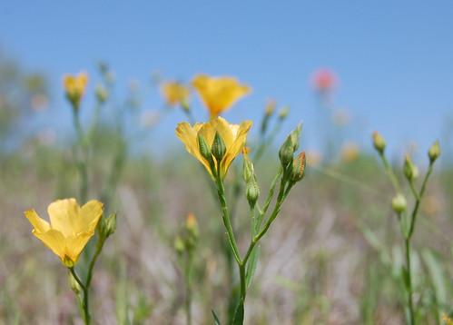 linaceae linumrigidum yellowflax gravitywave8808