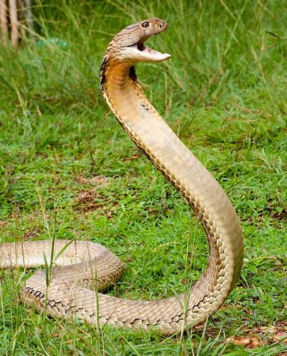 King Cobra Fangs
