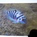 Honduran Red Point Convict Cichlid