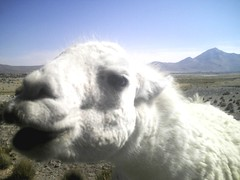 alpaca(0.0), sheep(0.0), arabian camel(0.0), pasture(0.0), animal(1.0), mammal(1.0), llama(1.0), fauna(1.0), camel(1.0),