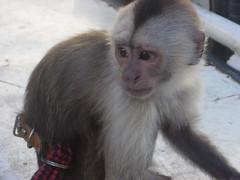 tufted capuchin(0.0), capuchin monkey(0.0), langur(0.0), drill(0.0), white-headed capuchin(0.0), japanese macaque(0.0), macaque(0.0), animal(1.0), monkey(1.0), mammal(1.0), fauna(1.0), old world monkey(1.0), new world monkey(1.0),