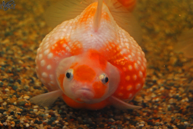 Fattest pearl goldfish flickr photo sharing for What are fatty fish