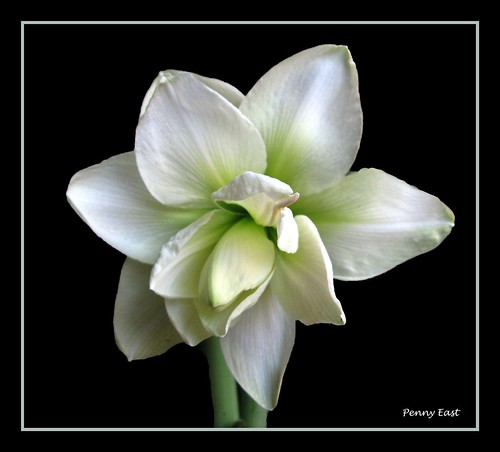 Hippeastrum White double