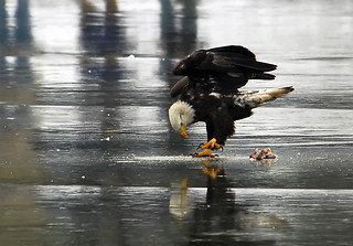 Bald Eagle Trying To Cut Hole In Ice