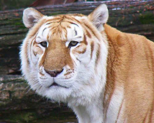 Sahib the Golden Tiger
