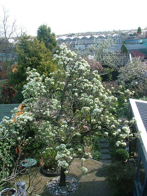 my old pear tree