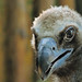 Eurasian Black Vulture