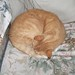 Small photo of Ginger sleeping