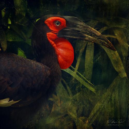bird nature animal explore lc bucorvusleadbeateri africangroundhornbill southerngroundhornbill leastconcern vosplusbellesphotos