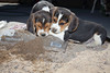 Beagle Puppies by Megan Huynh
