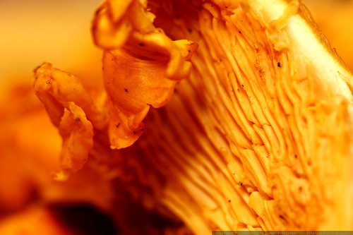 Cantharellus (Chanterelle) mushrooms sliced for tonight's dinner     MG 5558