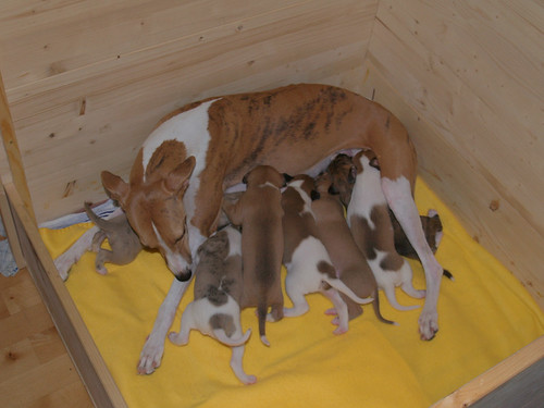 Animagi Whippets;  puppies: 15 days old