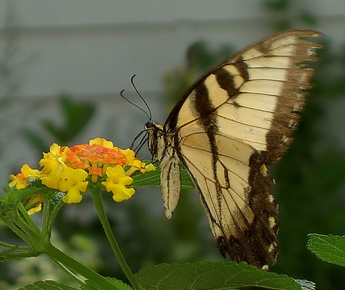 Lantana and Tiger Swallowtail