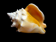 seafood(0.0), marine biology(0.0), conch(1.0), animal(1.0), sea snail(1.0), molluscs(1.0), yellow(1.0), macro photography(1.0), seashell(1.0), conch(1.0),