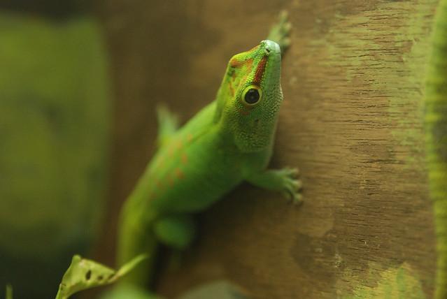 Madagascar Green Gecko