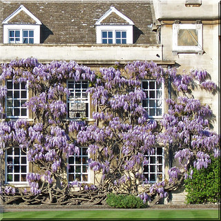 England Cambridge - Wisteria