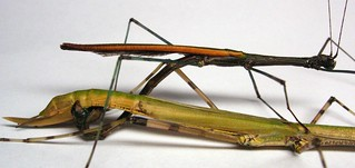 mating insects