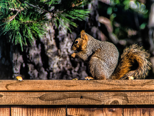 portrait of a squirrel on a fence by joeeisner