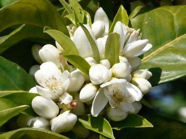 Citrus sinensis (II)