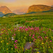 Wildflowers in Glacier National Park, Montana