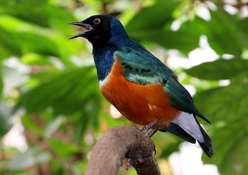 Superb Starling In Song