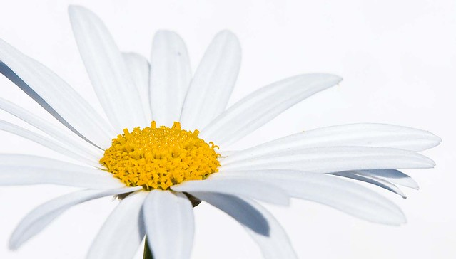 Daisy High Key from Flickr via Wylio