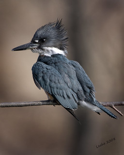 Belted Kingfisher - Portrait!