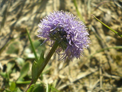 prairie(0.0), thistle(0.0), silybum(0.0), annual plant(1.0), jasione montana(1.0), flower(1.0), plant(1.0), macro photography(1.0), wildflower(1.0), flora(1.0), produce(1.0),
