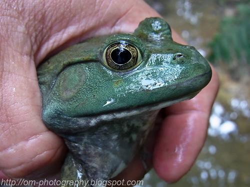 American bullfrog, <i>Rana catesbeiana </i>R0011311 copy