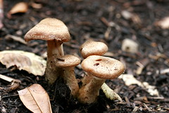 toadstools near our house    MG 4560