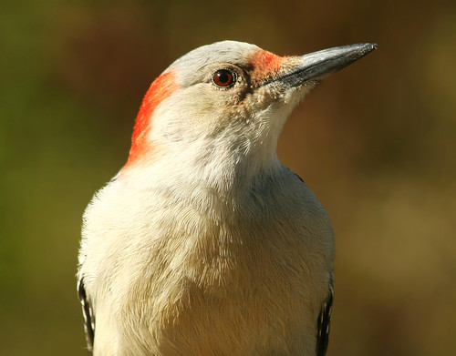 autumn bird outdoors aves redbelliedwoodpecker soe naturesfinest anture specanimal nature55 mywinners avianexcellence diamondclassphotographer naturewatcher theperfectphotographer
