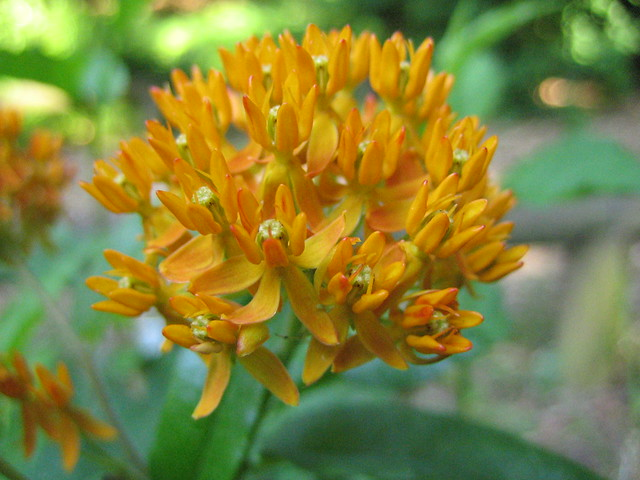 Scientific Name: Asclepias tuberosa.  Common Name: Butterfly Weed  Photo by Uli Lorimer.