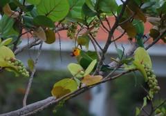 2007-10-28 Periquito-de-bochecha-parda, Caribbean Parakeet (aratinga pertinax), Bonaire