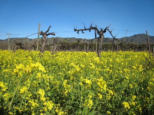 napa, mustard, old vines IMG_1368