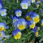 Violaceae