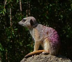 animal, mammal, fauna, viverridae, meerkat, wildlife,