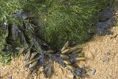 Seaweed and Sand, Bawdsey Beach