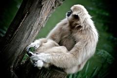 macaque(0.0), ape(0.0), gibbon(1.0), animal(1.0), monkey(1.0), zoo(1.0), mammal(1.0), fauna(1.0), wildlife(1.0),
