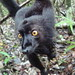Black Lemur - Photo (c) Olivier Lejade, some rights reserved (CC BY-SA)