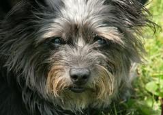 berger picard(0.0), pumi(0.0), cã£o da serra de aires(0.0), australian terrier(0.0), dog breed(1.0), animal(1.0), dog(1.0), schnoodle(1.0), lã¶wchen(1.0), polish lowland sheepdog(1.0), tibetan terrier(1.0), australian silky terrier(1.0), norfolk terrier(1.0), glen of imaal terrier(1.0), mammal(1.0), vulnerable native breeds(1.0), poodle crossbreed(1.0), havanese(1.0), catalan sheepdog(1.0), dandie dinmont terrier(1.0), cairn terrier(1.0), bergamasco shepherd(1.0), bearded collie(1.0), affenpinscher(1.0), terrier(1.0),