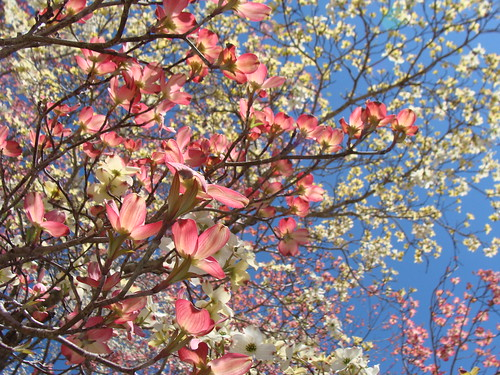 Pink and white dogwoods against blue sky