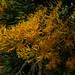 Christmas Tree Needles by Busso Gardener