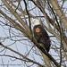 Bald Eagle (Tagged)
